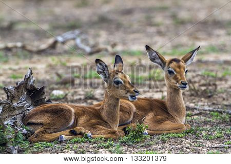 Specie Aepyceros melampus family of bovidae, to young impalas in the bush in Kruger park