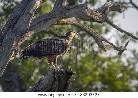 Specie Polemaetus bellicosus family of Accipitridae, martial eagle on a branch in Kruger Park