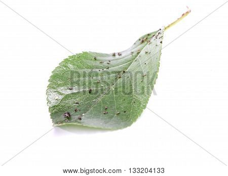 Picture of a Sour sherry leaf with pests in studio