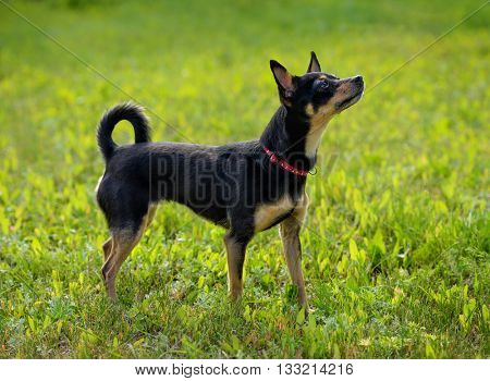 Toy terrier on the spring grass