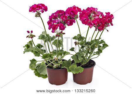Red and pink garden Geranium Pelargonium with buds isolated on white background, garden geranium flowers in flowerpot