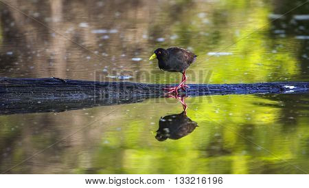 Specie Zapornia flavirostra family of Rallidae, black crake in the riverbank, South Africa