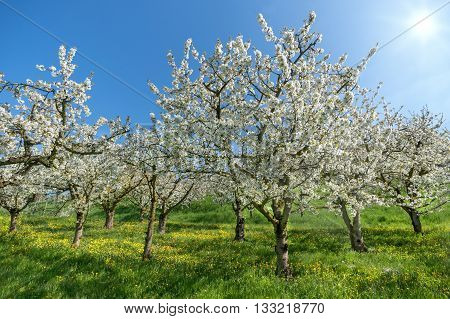 Blooming cherry trees in spring in an orchard with meadow and blooming yellow dandelion