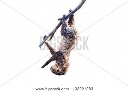 Sloth In A Tree On White Background