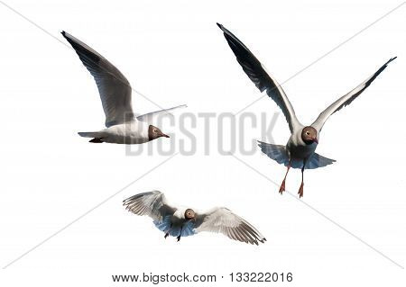 Set Of Seagulls Isolated