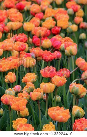 Unbelievably pretty landscape of colorful tulips in garden.