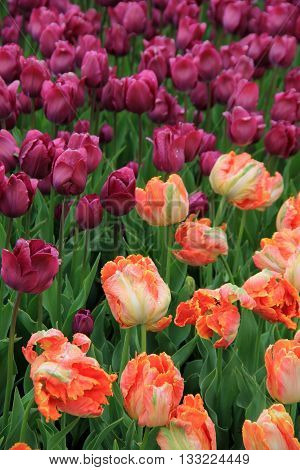 Breathtaking beauty of colorful purple and peach toned tulips in landscaped garden.