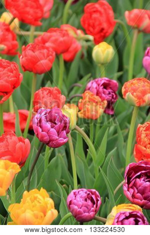 Beautiful Springtime garden with bright and colorful tulips.