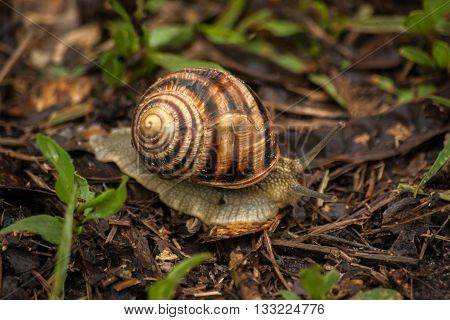Snail in garden crawl through green grass. Snail on brown ground