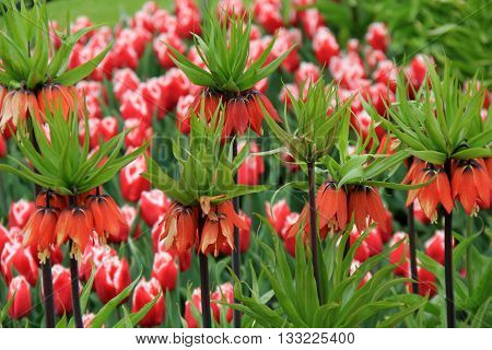 Red Crown Imperial tulips make a beautiful landscape of backyard garden stunning.