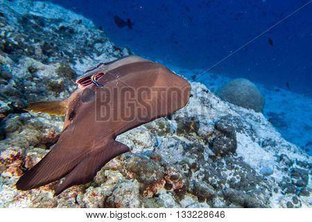 Cleaner Fish Iinside Bat Fish In Maldives