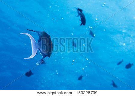 Blue Triggerfish  In Maldives Blue Ocean Underwater View