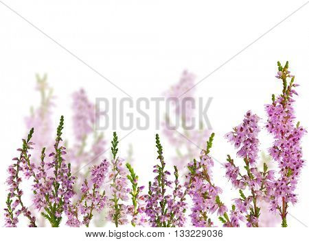 group of heather blossoms isolated on white background