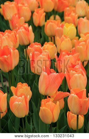 Vertical image of peach tone tulips in Springtime garden.