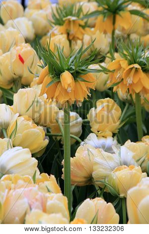 Pretty landscape of Yellow Crown Imperial tulips tucked in between others.