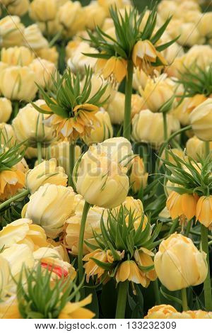 Gorgeous image of yellow crown imperial tulips tucked in between other yellow tulips in landscaped garden.