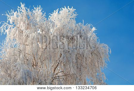 Frosty tree and blue clear sky close-up
