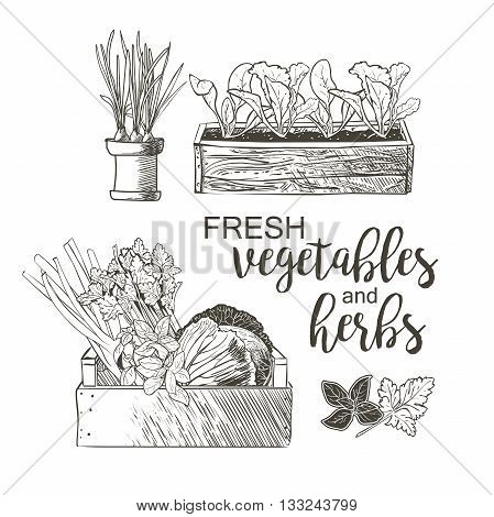 Celery cabbage greens onions garlic basil parsley in the flowerpots
