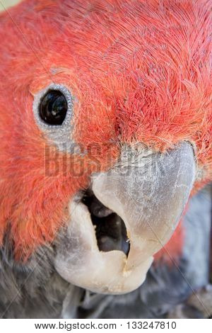 Extreme closeup of an australian gang gang cockatoo parrot