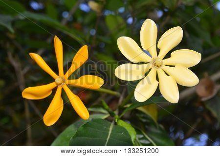 the golden gardenia, Golden gardenia, yellow flowers beautiful in garden