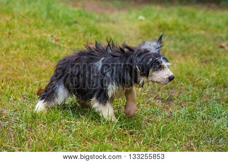 Close up of wet puppy after take a bath in the garden.