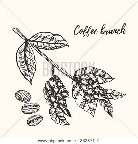Coffee branch. Coffee branch with coffee leaf and coffee berry.