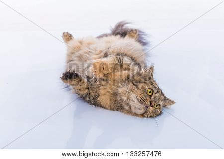 Close up of cute brown tabby persian cat lying on the ground.