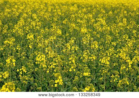 Yvelines a field of rape in spring