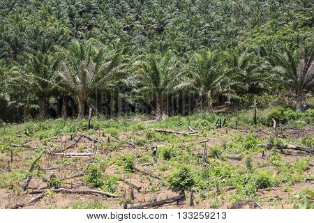 Oil Palm Plantation beside cleared rainforest in Borneo, Malaysia.