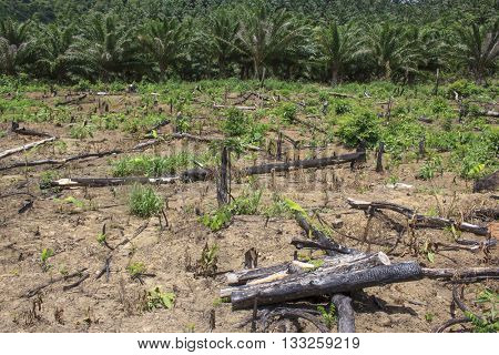 Rainforest jungle cut and burned to make way for palm oil plantation.