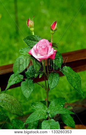 A beautiful pink rose on a rainy day