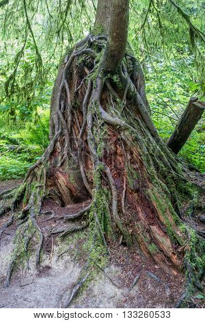 Root are uncovered in a tree is the Pacific Northwest.