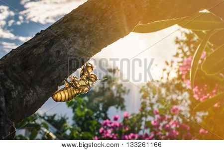 Close up Husk of cicada on tree