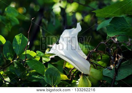 Two white buds bindweed among the greenery