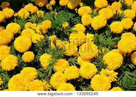 Marigold flowers. Marigold flowers in the meadow in the sunlight. Yellow marigold flowers in the garden. Closeup flower. Yellow and orange marigolds