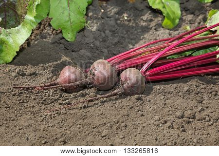 Beetroots Crop