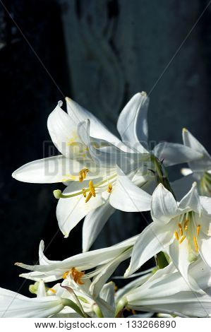 A few flowers white lily with yellow stamens