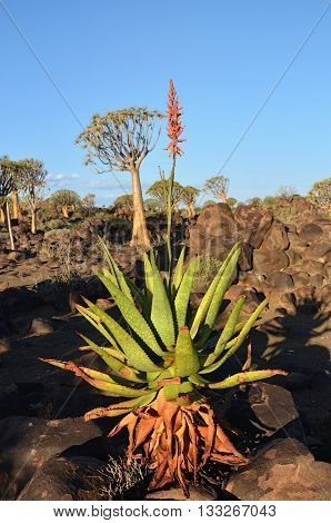 Agave Plant In Namibia