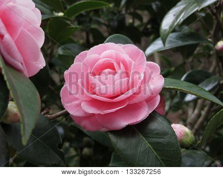 Ancient japanese cultivar of pink Camellia japonica flower known as Otome Tsubaki