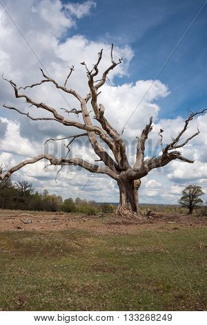 Large gnarled dead tree stands alone in the countryside