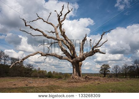 Big gnarled dead tree stands alone in the countryside