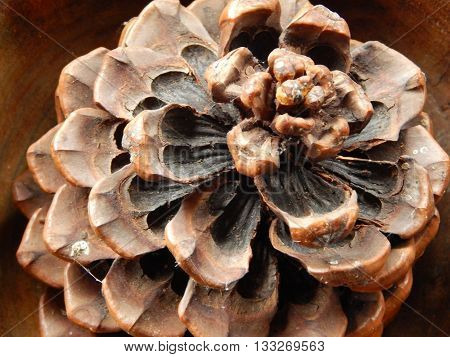Pine cones with scales cone texture macro photo