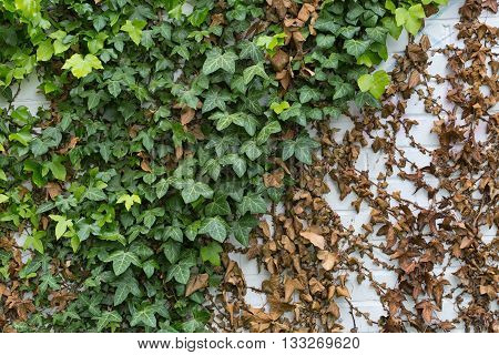 Green ivy Hedera with glossy leaves and white veins on the wall