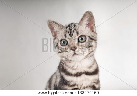 American shorthaired kittens on silver background closeup