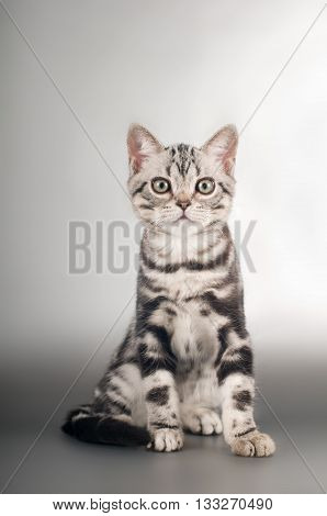American shorthaired kittens on silver background portrait