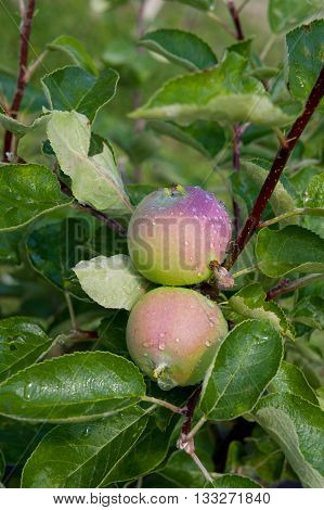 Apple trees. Growing Organic Apples. Eco garden
