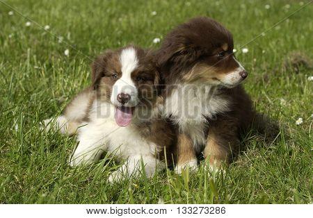 horizontal picture of dogs, autralian shepherd in a garden