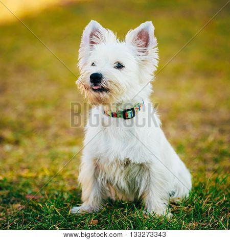 Funny West Highland White Terrier - Westie, Westy Dog Portrait