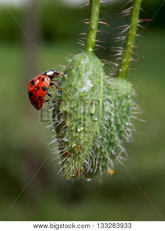 Ladybug on a poppy bud and rain drops