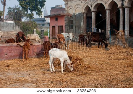 White calf among cows in a pen of cattle farm in India